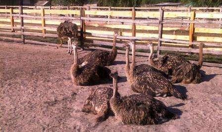 Не стоит забывать о том, что страусы предпочитают селиться семьями, а, значит, для каждого самца и 2-3 его подруг следует отделить место