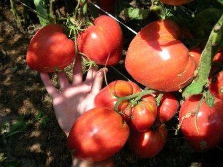 Все, кому посчастливилось хотя бы раз отведать помидор Чудо Земли, очень долго не могут забыть его неповторимый вкус.