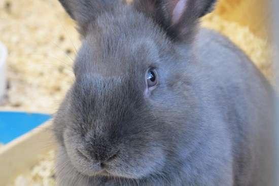 венский голубой кролик, характеристика и видео о котором есть в статье