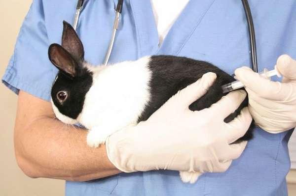 стоит ли применять при миксоматозе у кроликов антибиотики?