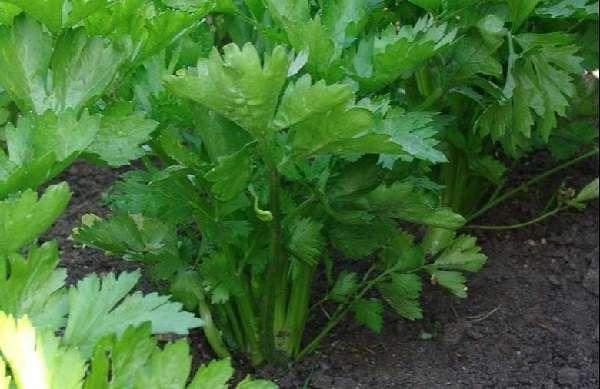 Сельдерей черешковый выращивается в открытом грунте, а размножается семенами