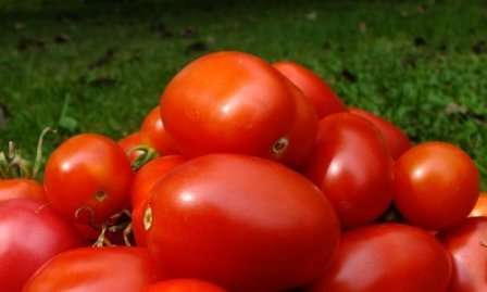 На предоставленных фото вы уже смогли рассмотреть помидоры сорта Ракета. Как вы, скорее всего, заметили, они имеют интересную вытянутую форму с заостренным носиком.