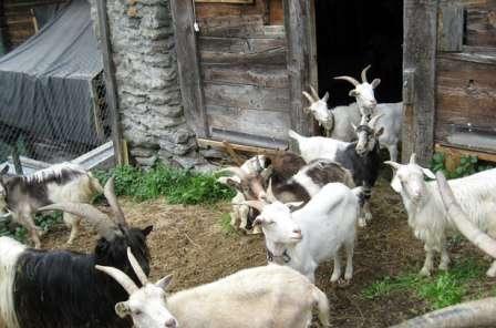 Принято считать, что комфортной для жизни коз температурой будут двадцать градусов, причем козлята вполне способны выдержать двенадцать. А взрослые особи даже десять градусов в холодное время года.