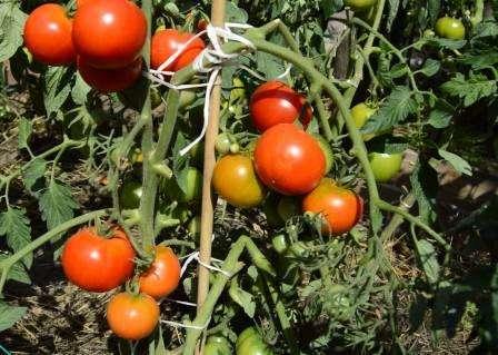 Другими словами, где бы вы ни проживали, вы имеете возможность вырастить популярный томат Дачник на своем участке.
