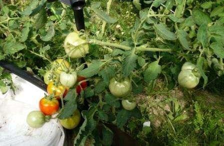 Как уже упоминалось, вкус томата Санька относительно остальных ранних сортов можно назвать хорошим.