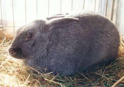 Как же выглядит кролик серебристый