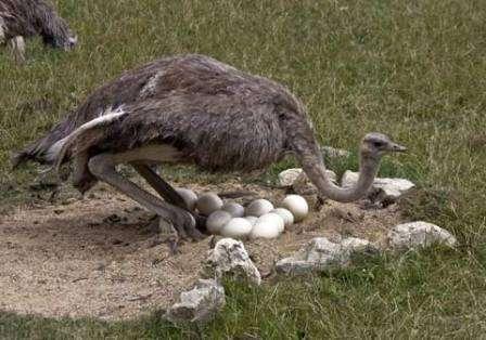 Масайского страуса