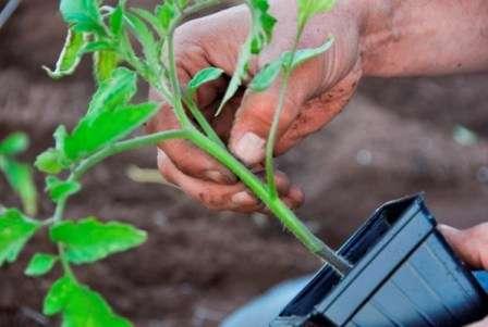 Если рассада получилась слабая и бледная, то урожай вы получите поздно и очень скудный.