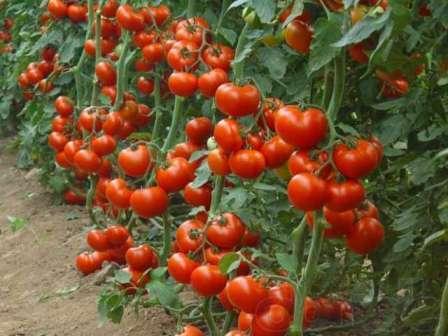 Также замечено, что куст покрыт малым количеством листьев. На фото вы можете увидеть куст томата Алсу во всей красе.