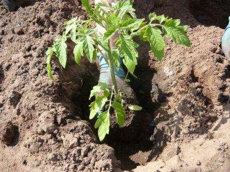 Чтобы летом не быть разочарованным результатом, необходимо уделять должное внимание каждому этапу выращивания томатов.