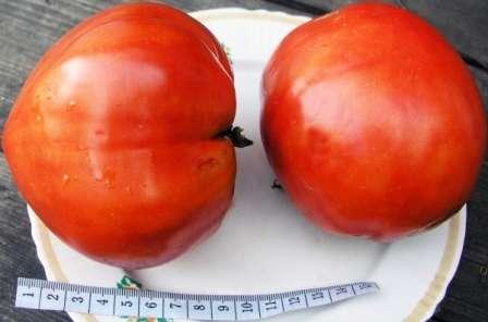 Если вы будете вести растение всего в один ствол, то получите очень большие помидоры — около килограмма и более.