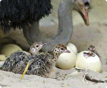 Важно наблюдать за страусиными яйцами, чтобы убедиться в том, что молодой страус способен самостоятельно разбить довольно крепкую скорлупу яйц