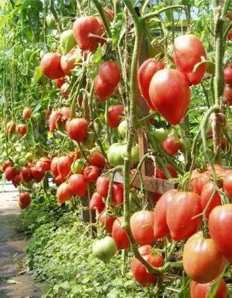 Итак, мы подобрали для вас квинтэссенцию, или «вытяжку» из всех отзывов, чтобы показать, за что дачники и фермеры ценят сорт томатов Чудо Земли.