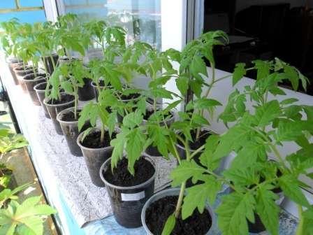 К общему времени выращивания рассады томатов следует накинуть еще 5-7 дней, которые уйдут на прорастание.