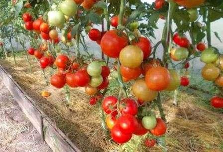 Этот томат рекомендуют сажать в теплице.