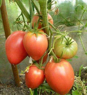Мазарини — это очень и очень известный сорт томатов с крупными сердцевидными плодами весом от 300 до 600 г.