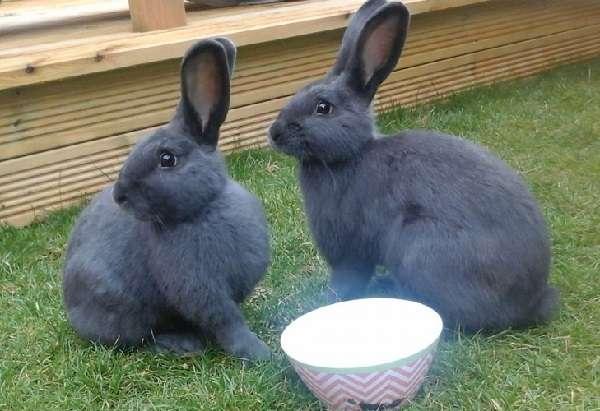 Венские голубые кролики, подробное фото