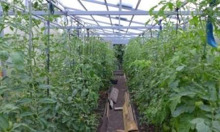 Отдельное внимание при выращивании томатов Красным Красно в теплице следует уделить влажности и температуре.