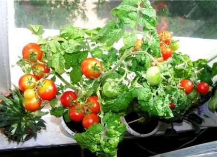 Это, наверное, самый популярный сорт помидоров для выращивания в домашних условиях.