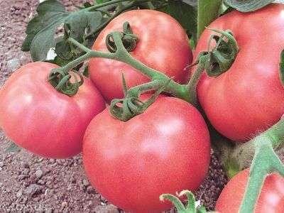 Мясистые плоды обладают средним размером и округлой формой