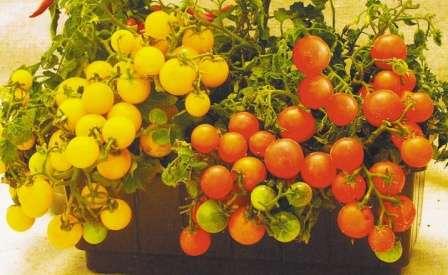 Это самые компактные кустики из всех разновидностей для выращивания на подоконнике — высота всего 15 см.