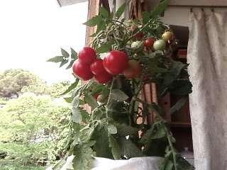 Самый урожайный сорт помидоров для подоконника.