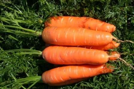 Любимый многими агрономами сорт, который обладает самым лучшим вкусом среди аналогичных сортов.
