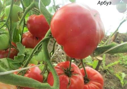 Известный высокорослый томат (до 1,8 м), который многие годы радует урожайностью огородников.