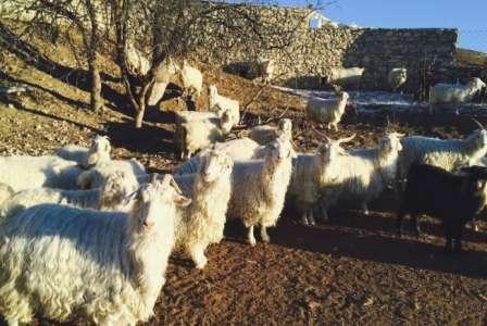 «Придонская». Соответствует месту выведения – берега реки Дон, казачьи станицы. Животные хорошо адаптируются и к иным регионам, вырастают до среднего размера, с крепкой конституцией. В среднем вес взрослых коз - не менее 38 кг, козлов – от 67 кг. Поро