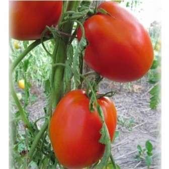 Это один из нескольких самых любимых огородниками сорт томата для теплиц.