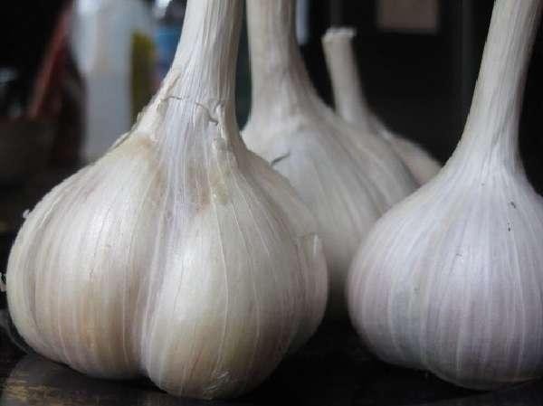один из самых урожайных и очень популярных сортов ярового чеснока