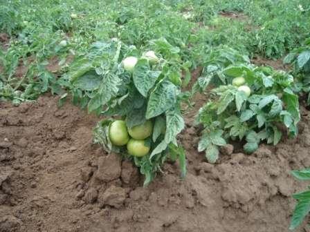 У взрослых кустов помидоров с небольшим количеством цветочных кистей есть свои признаки, указывающие на тип растения.