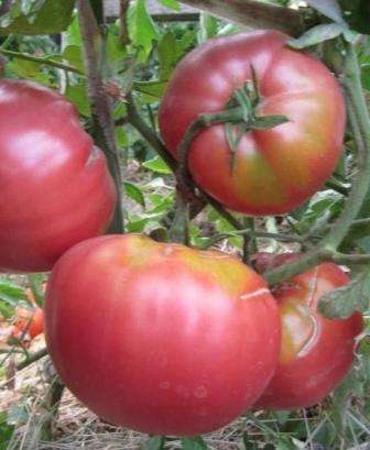 Среднеспелый, высокорослый (до 1,7 м), высокоурожайный.