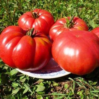 Высота куста — 1,8 м. Рекомендовано вести в два стебля, но земледельцы, которые хотят получить помидоры-гиганты, оставляют только главный ствол.