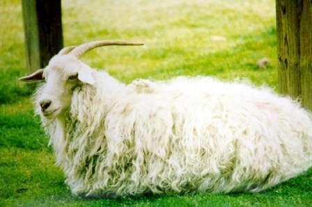 Тема этой статьи - породы пуховых коз с фото и описанием. Из нее вы узнаете, как вырастить этих животных на своей ферме, что они любят, и какие условия им больше всего подходят. Пуховые козы – описание и фото