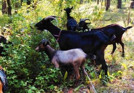 Обычно козы не имеют рогов, но они присутствуют у козлов и имеют плавно изогнутую назад форму. Вымя округлое, соски небольшой формы, удобные при доении. Период лактации длится в течение 9-10 месяцев, молоко обладает жирностью не менее 4%.