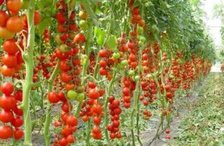 Из этого следует, что детерминантные помидоры больше подходят для открытого грунта или невысоких теплиц, а индетерминантные — для теплиц.