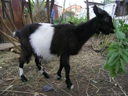 После отделения шкуры, нужно проследить, чтобы шерсть не соприкасалась с мясом и обязательно следует вымыть руки, перед разделыванием туши. Одна из мясо - молочных пород коз - это орловская короткошерстная.