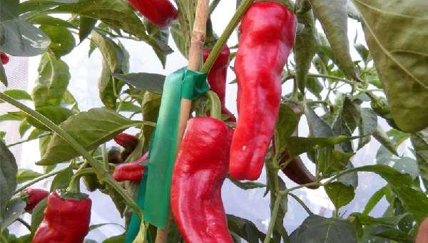 среднеранний и высокоурожайный сорт горького перца, подходит для выращивания в открытом грунте