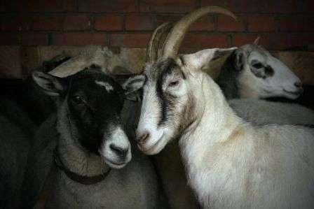 До 3,5 - 4 лет продуктивность возрастает, и падает после 7 летнего возраста. Можно получить материал и с особей старше 7 лет, но он будет ломкий, неэластичный. В расчете на 100 оплодотворенных коз, в среднем может появиться до 140 детенышей.