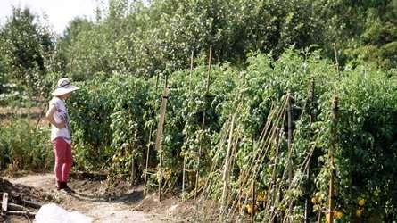 Их удобно растить в открытом грунте.