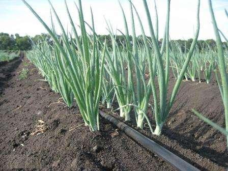 Севок следует погружать на 3-4 см под землю, делая между соседними луковицами промежутки в 10 см.