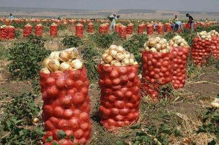 Одним словом урожай следует собирать, когда зелень только полегла, но в день без осадков.
