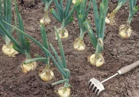Урожая при этом методе выращивания можно ждать через 120 дней после посадки. Комплексный уход за луком будет описан ниже.