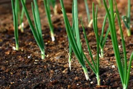 Весной почву рыхлят и удобряют, если осенью это не было сделано. Не следует заделывать минеральные удобрения глубоко, так как корни могут не доставать до них.
