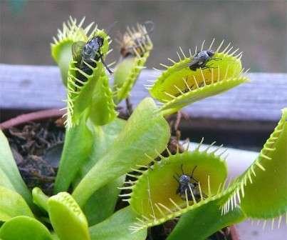 В удобрении Дионеи нет никакой необходимости. Все необходимые для жизни вещества растение получает из насекомых.