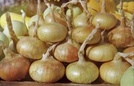 Будьте внимательны — азотные удобрения в конце вегетации мешают созреванию лука! В подкормке лука никогда не используют свежий навоз.