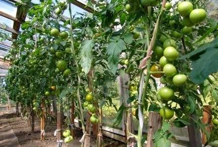В хорошо оборудованной теплице фермеры и огородники не находят в томате выраженных недостатков.