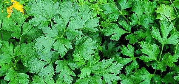 Как и другие растения зонтичных, петрушка не особо подвержена воздействию вредителей