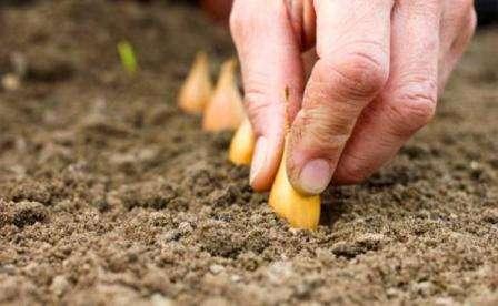 На перо выбирают самый плохой лук севок Центурион и его при посадке не засыпают землей.